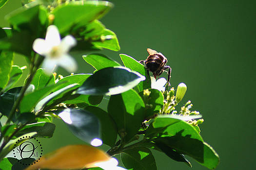 Bee on Jasmine by Shelley Overton
