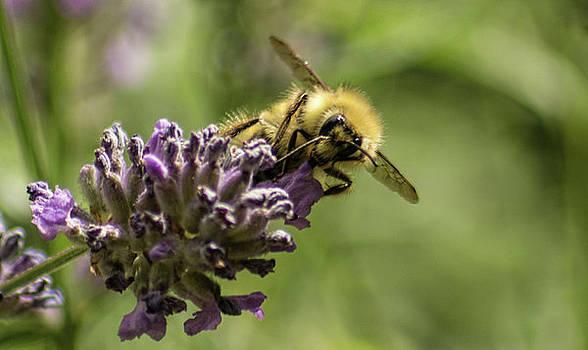Bee on Lavender by Marilyn Wilson