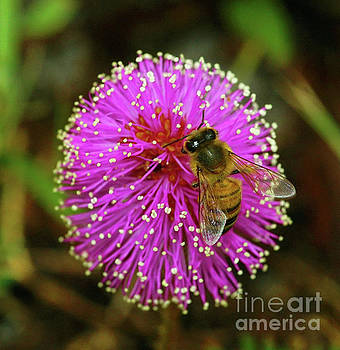 Bee on Puff Ball by Larry Nieland