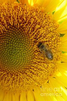 Bee on Sunflower 2 by Jean Bernard Roussilhe