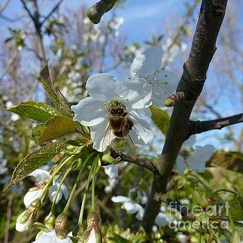 Bee on White Flowers by Jean Bernard Roussilhe