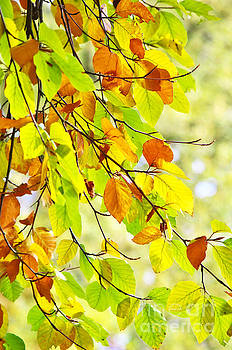 Beech leaves in autumn by Angela Doelling AD DESIGN Photo and PhotoArt
