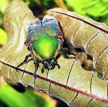 Beetle by Nereida Slesarchik Cedeno Wilcoxon