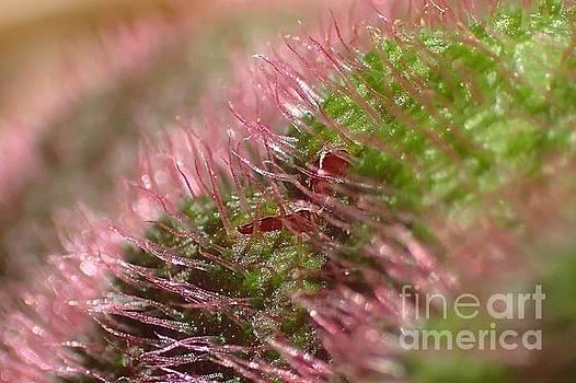Begonia Fuzz by Carol McGunagle