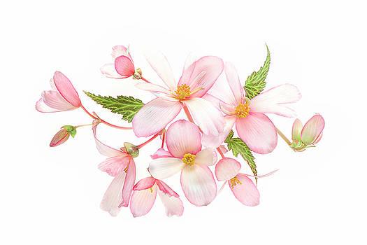 Begonia  by Jacky Parker