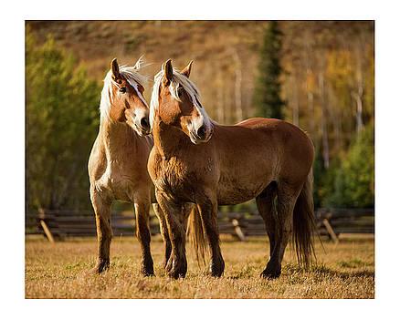 Belgian Draft Horses by Sharon Jones