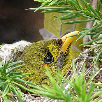 Bell Miner On Nest by Margaret Saheed