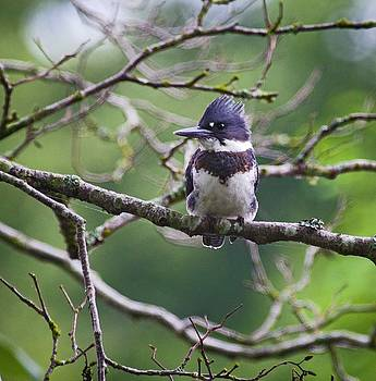 Belted kingfisher by Rob Mclean
