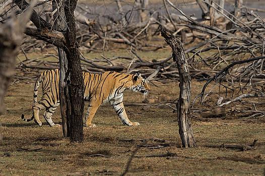 Bengal Tigress by Ramabhadran Thirupattur
