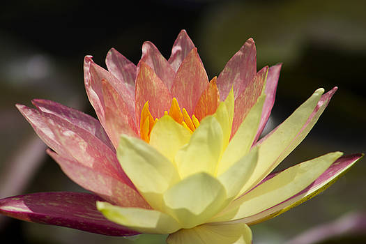 Bi-Colored Water Lily by Mark Michel