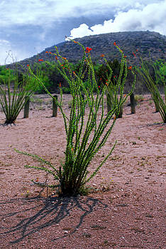 Judy Hall-Folde - Big Bend Cactus