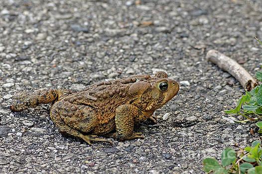 Big Fat American Toad by Natural Focal Point Photography