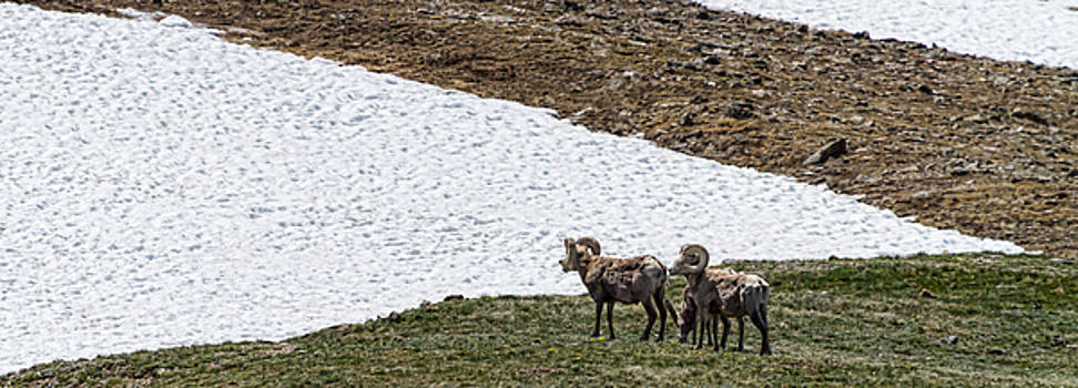 James BO  Insogna - Big Horn Sheep in The High Elevation