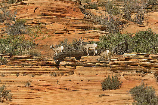 Little Big Horn Sheep by Peter J Sucy