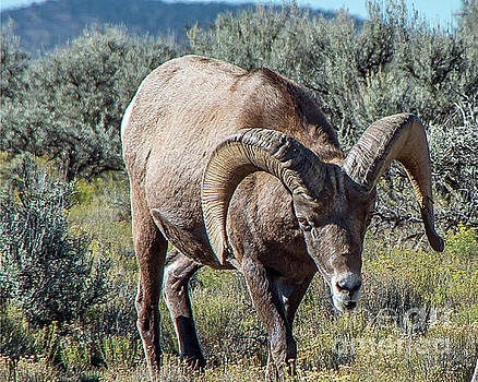 Big Horned Sheep by Steve Whalen