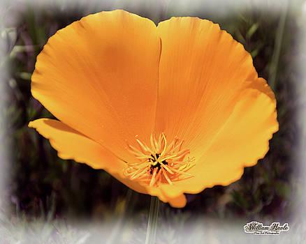 Big Yellow Poppy by William Havle