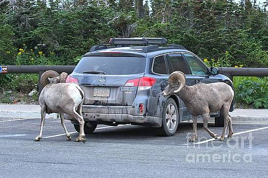 Adam Jewell - Bighorn Bandits
