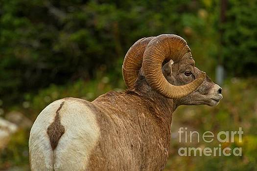 Adam Jewell - Bighorn From Behind