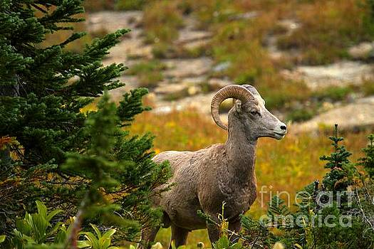 Adam Jewell - BIghorn In The Forest
