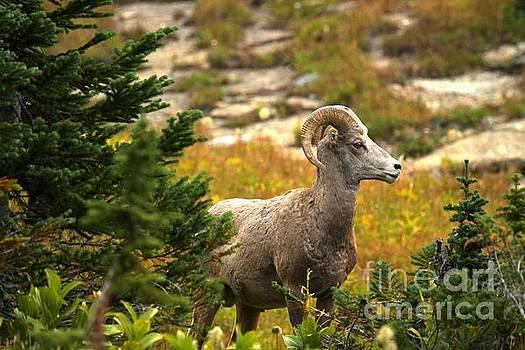 Adam Jewell - Bighorn In The Pines