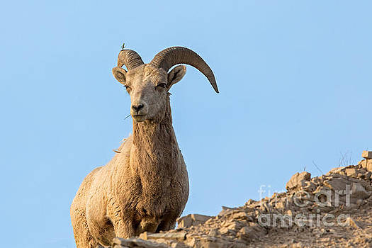BigHorn Ram by Natural Focal Point Photography