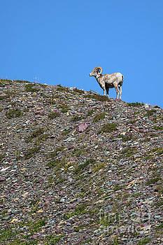 Bighorn Sheep on Mountain Top by Brandon Alms