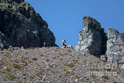 Bighorn Sheep Resting in the Mountains by Brandon Alms