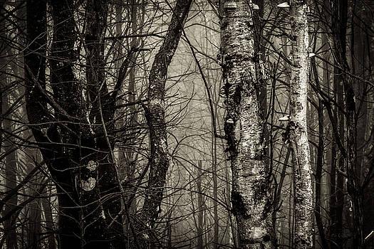 Birch by Bob Orsillo