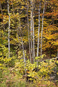 Birch in Fall by Eunice Gibb