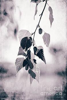 Birch by Linda Lees
