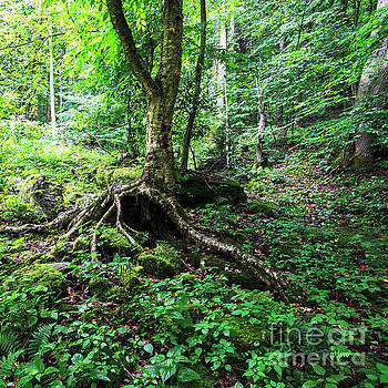 Birch Tree and Roots by Thomas R Fletcher