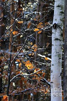 Birch Tree in Winter by Kathy DesJardins