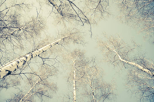 Birch Trees 3 by Dorit Fuhg