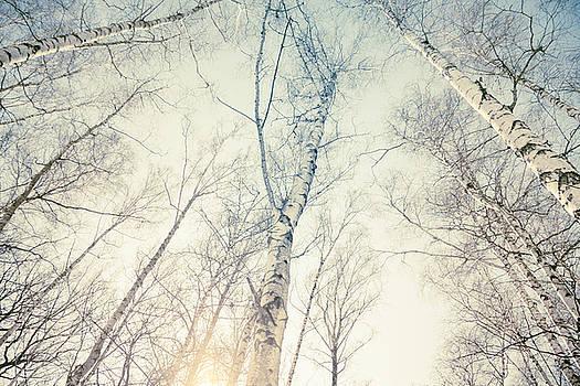 Birch Trees 4 by Dorit Fuhg