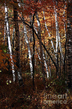 Birch Trees in the fall by Kathy DesJardins