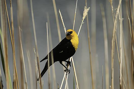 Yellow headed blackbird by Carl Nielsen