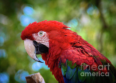 Bird in Red by Lisa L Silva