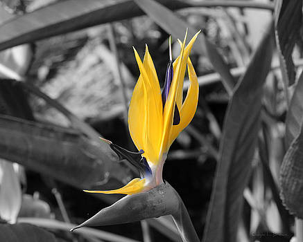 Bird of Paradise by Chayla Brown