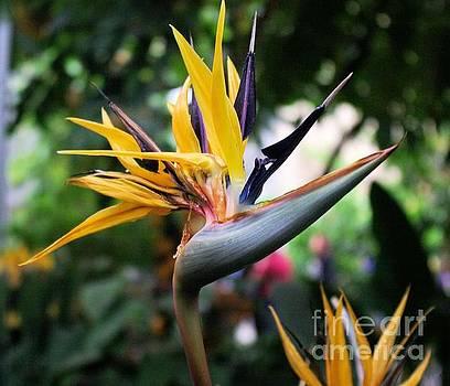 Bird Of Paradise  by John S