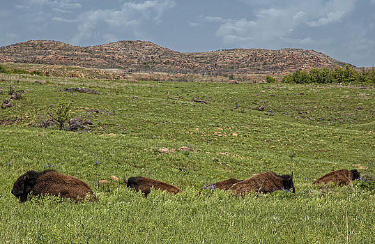 Bison at Rest by Katherine Worley