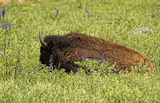 Bison in Bluebonnests by Katherine Worley