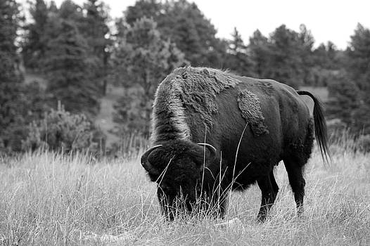 Bison by Steve ODonnell