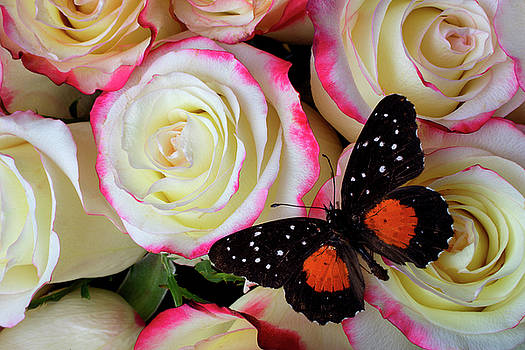 Black And Orage Butterfly On Roses by Garry Gay