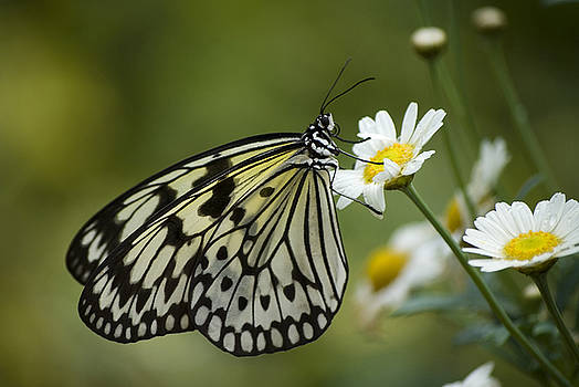 Black And White Butterfly On A Daisy by Pixie Copley