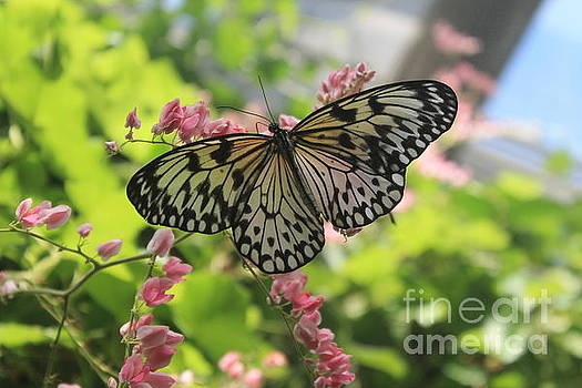 Black and White Butterfly  by Teresa Thomas