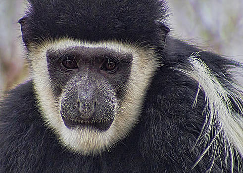 Black and White Colobus by Ron Grafe