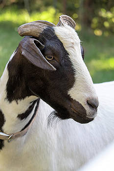 Black and White Goat Closeup Portrait by Jit Lim