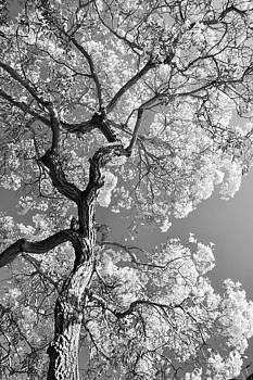 Black And White Summer Tree by Ruthann Carlson