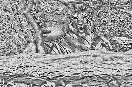 Black And White Tiger In Rest by Deborah