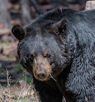 Black Bear 2 by Phil Abrams